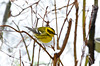 Winter Happiness- Townsend Warbler